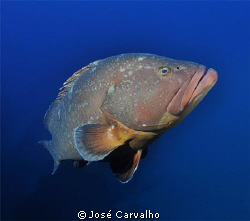 Beautiful giant grouper at the famous wreck &quot;Madeirense&quot;,... by Jos&#233; Carvalho 